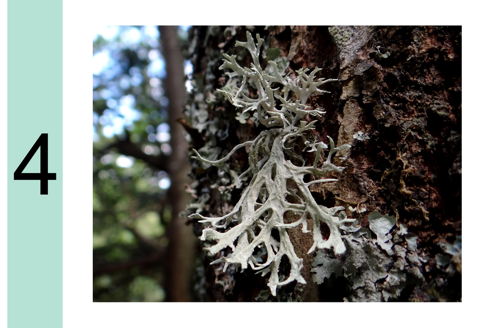 Fotografia prezentuje stopień 4 wskali porostowej. Na korze drzewa szary listkowaty porost.