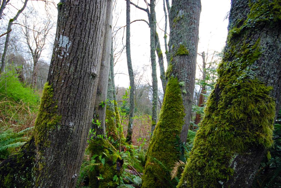 Zdjęcie przedstawiające pień drzewa zwyraźnie widocznym mchem po stronie północnej.