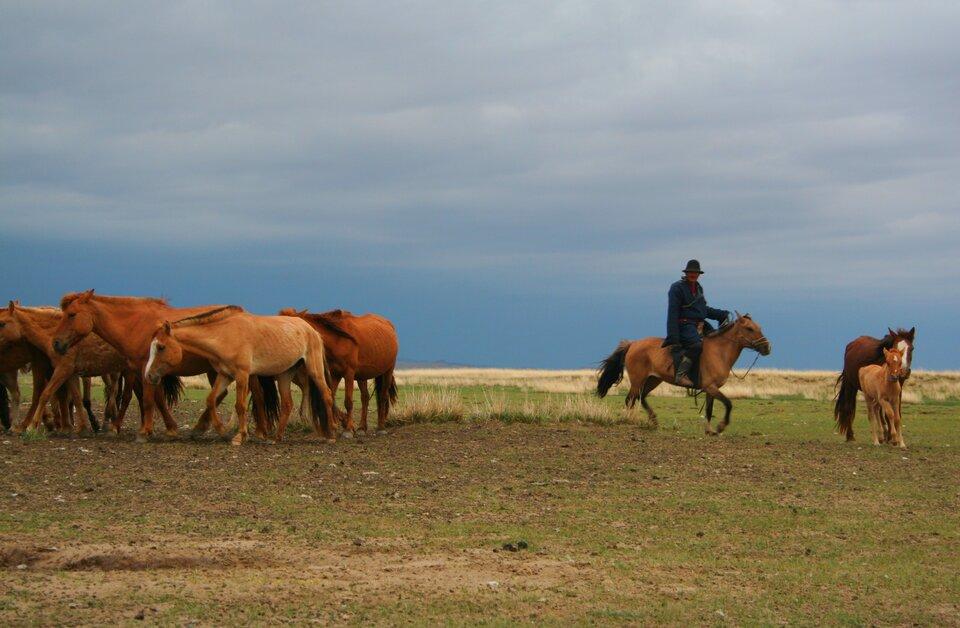 Na zdjęciu wypas koni na mongolskim stepie. Zlewej strony stado koni, ośrodku pasterz na koniu, zprawej strony klacz ze źrebakiem. Na pierwszym planie step, krótka trawa. Niebo zachmurzone.