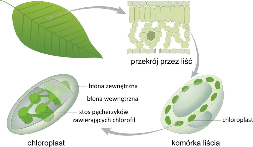 Ilustracja przedstawia cztery rysunki, wyjaśniające, gdzie odbywa się fotosynteza. Pierwszy zlewej to zielony liść. Szara strzałka wprawo prowadzi do powiększonego przekroju przez liść. Strzałka wdół wskazuje komórkę liścia: biało - szarą półkulę zzielonymi plamkami. Oznaczają one chloroplasty. Strzałka wlewo wskazuje bardzo powiększony, owalny chloroplast, otoczony dwoma błonami. Wewnątrz niego znajdują się zielone stosy pęcherzyków, zawierających chlorofil.