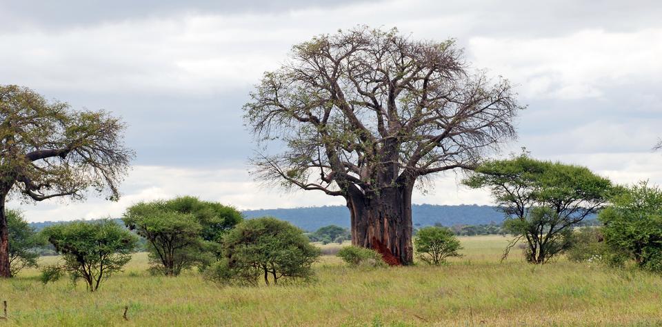 Fotografia przedstawia krajobraz sawanny drzewiastej. Wcentrum wznosi się grube, wielkie, brązowe drzewo. Ma niewiele zielonych liści. Obok rosną liczne mniejsze, zielone drzewa ikrzewy. Trawa jest częściowo zielona.