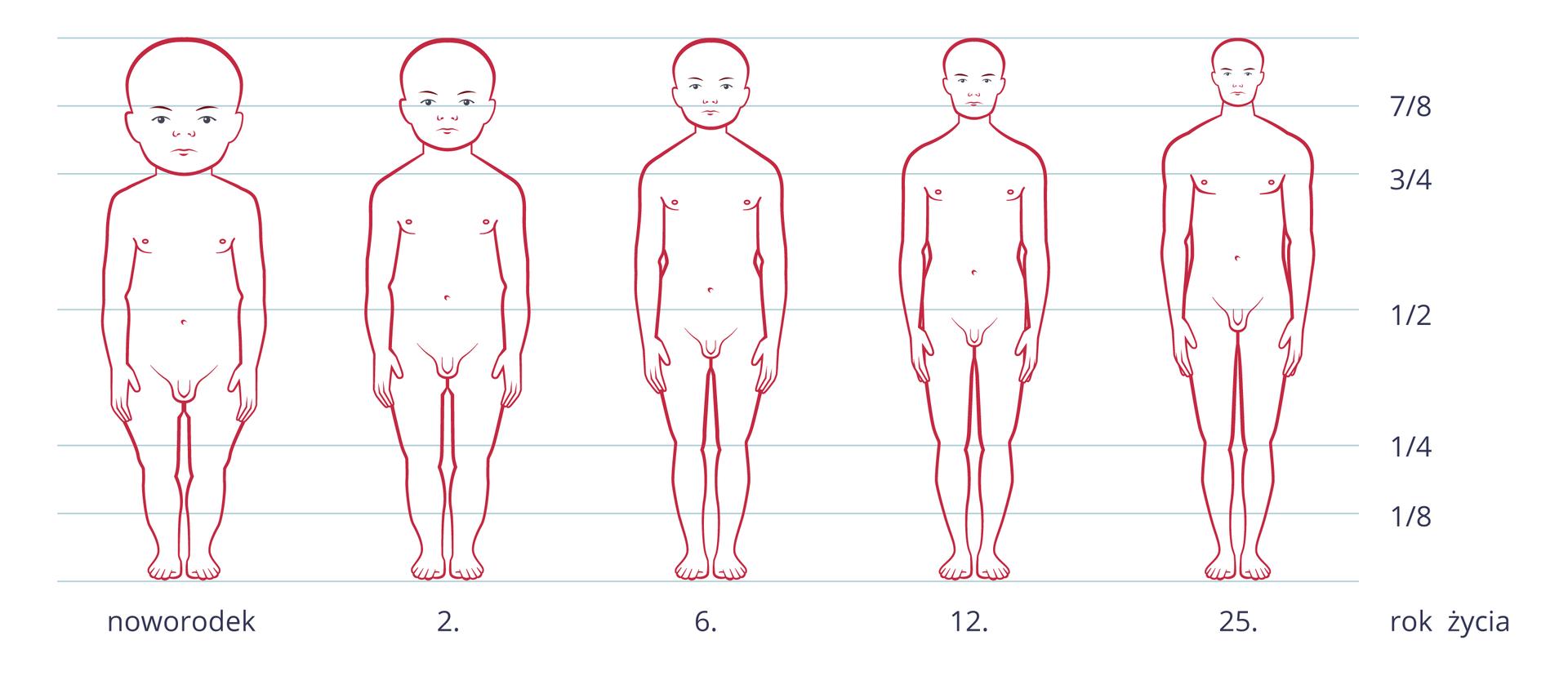 Ilustracja przedstawia zarysy zmieniającej się sylwetki człowieka od narodzin do dorosłości. Na osi Xpodpisane lata. Linie poziome wskazują proporcje ciała, wyrażone ułamkami. Wmiarę dorastania zmieniają się proporcje wielkości głowy wstosunku do długości ciała.