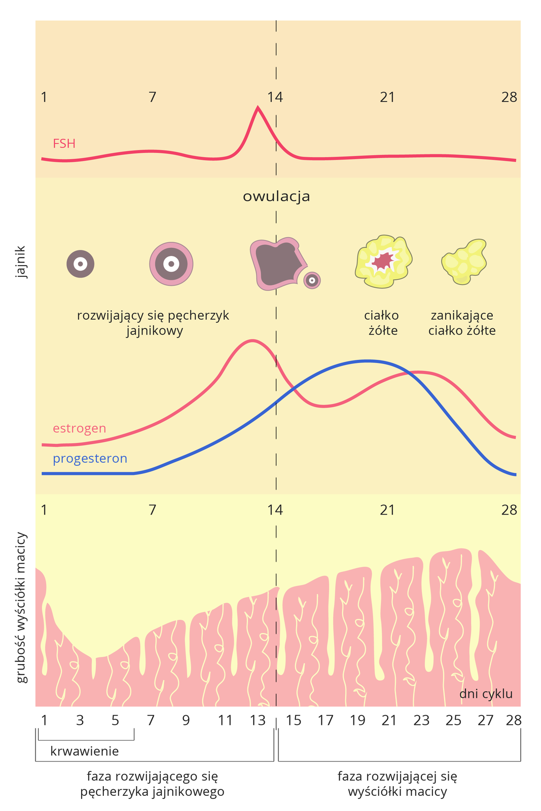 Ilustracja przedstawia schematycznie zmiany, zachodzące worganizmie kobiety podczas cyklu miesiączkowego. Udołu podpisane dni cyklu od 1 do 28. Nad dniami cyklu schematycznie wyściółka macicy, oróżnej grubości, zależnie od fazy cyklu. Wśrodku pionowa, przerywana linia, oznaczająca moment owulacji. Różowa linia ugóry zcyfrą jeden oznacza poziom hormonu FSH. Strzałka wskazuje pobudzenie rozwoju pęcherzyka jajnikowego (różowo- brązowe kółeczko), owulację izanikanie ciałka żółtego. Linia niżej zcyfrą 3 to poziom estrogenów. Strzałka wdół wskazuje wpływ pobudzający na błonę śluzową macicy. Błękitna linia zcyfrą 2 oznacza poziom progesteronu. Strzałka od niej wskazuje wpływ hamujący na wyściółkę macicy.
