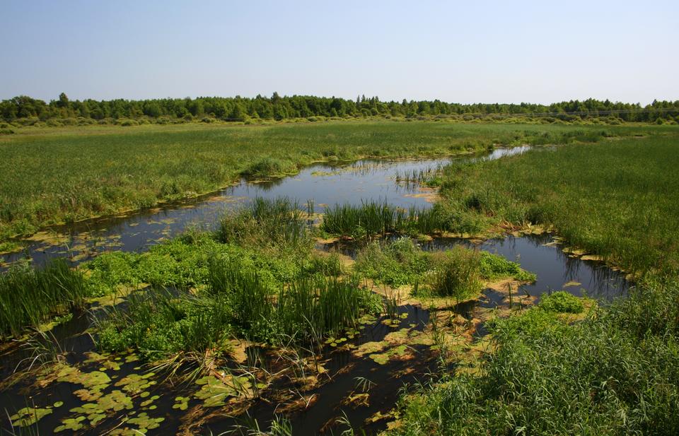 Fotografia przedstawia torfowisko niskie wBiebrzańskim Parku Narodowym. Przez podmokły obszar płynie struga, porośnięta roślinnością. Gęste szuwary ciągną się aż do lasu wgłębi.
