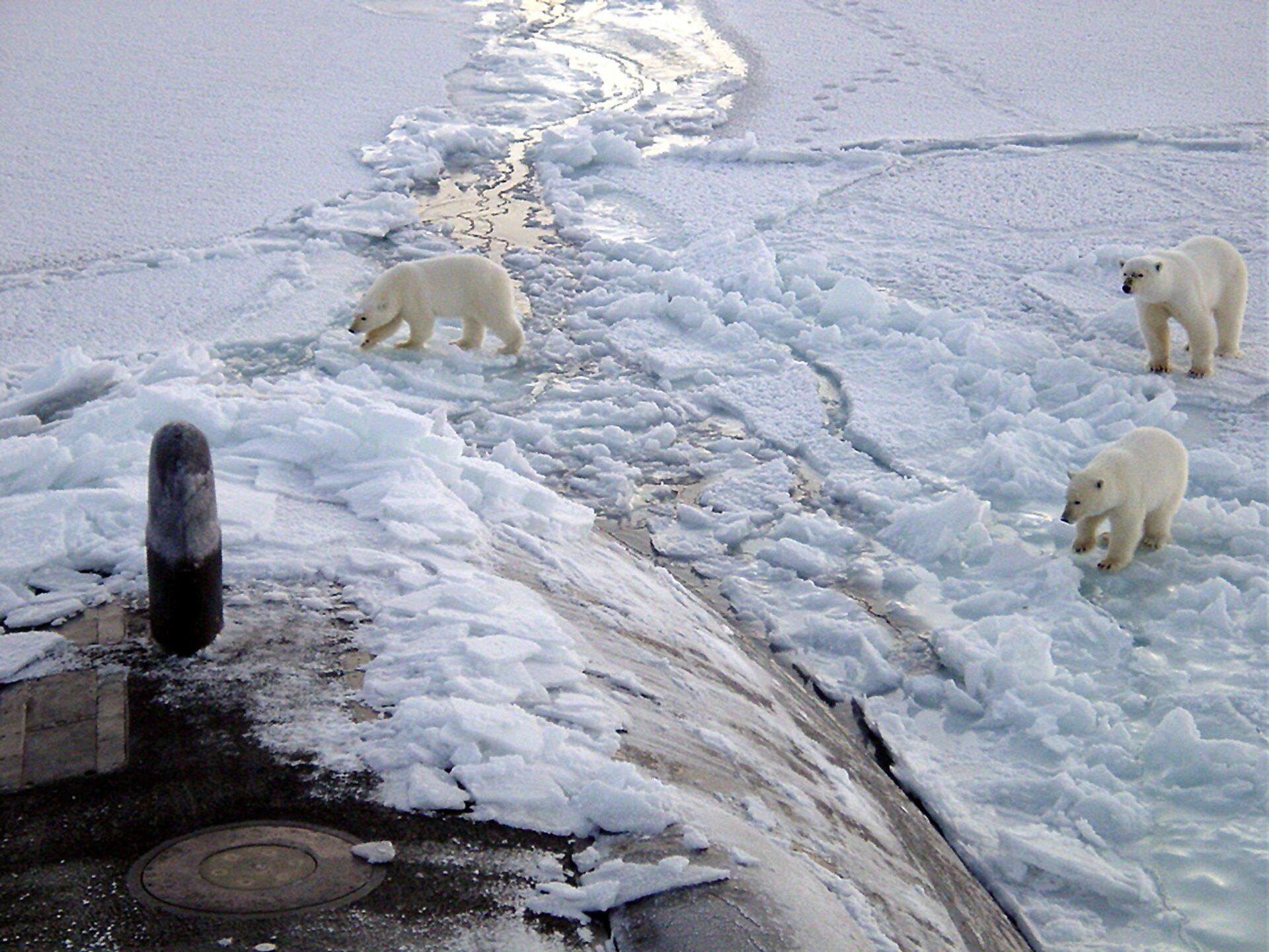 Fotografia wykonana zwysokości, prezentuje trzy białe niedźwiedzie polarne idące po topniejącej krze.