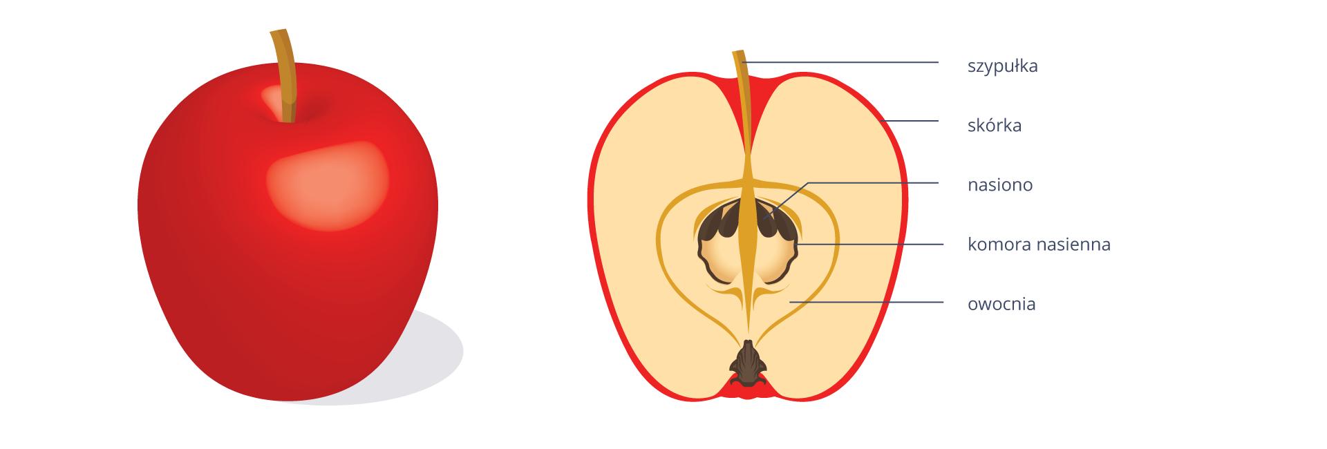 Na rysunku po lewej stronie znajduje się jabłko. Po prawej stronie jest przekrój tego jabłka. Ogonek oznaczony jest jako szypułka. Powierzchnia jabłka to skórka. Pod nią jest różowy miąższ powstały zdna kwiatowego. Wśrodku znajduje się komora nasienna znasionami.