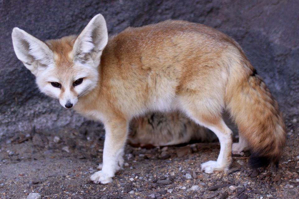 Fotografia przedstawia niewielkie rudo – białe zwierzę ociemnych oczach idużych uszach. To fenek, mieszkaniec pustyni. Uszy służą mu do odprowadzania nadmiaru ciepła zorganizmu.