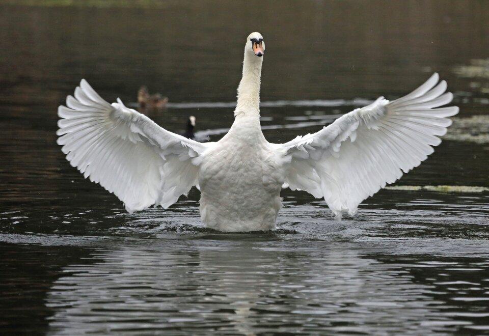 Fotografia przedstawia łabędzia zrozpostartymi wbok skrzydłami, który niemal unosi się nad wodą.