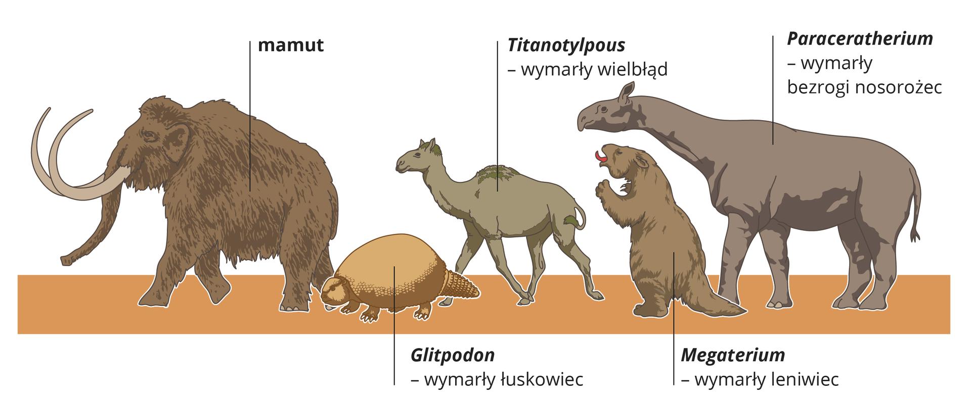 Ilustracja przedstawia rysunki pięciu olbrzymich wymarłych ssaków. Stoją na pomarańczowym pasie, głowami wlewo, przy nich podpisy. Od lewej: mocno owłosiony brązowy mamut zdługimi kłami; mały, jasnobrązowy łuskowiec Gliptodon; za nim szarawy wymarły wielbłąd Titanotylopus*. Za nim stojący na tylnych nogach leniwiec Megaterium, zotwartym pyskiem iczerwonym językiem. Na końcu bezrogi nosorożec Paracerahterium, zdługą szyją imała głową.
