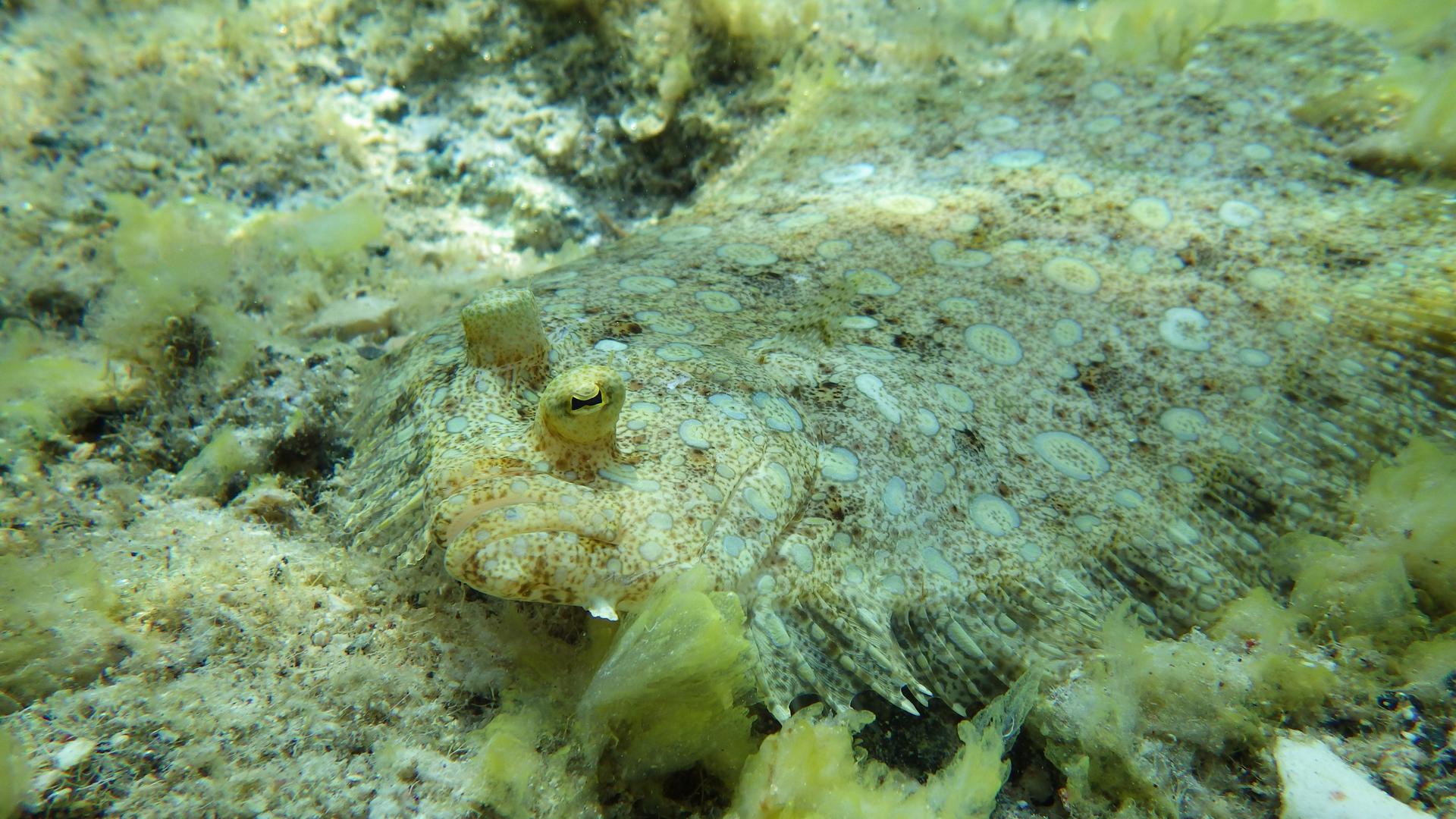 Fotografia przedstawia dno morza zleżącą na nim płasko flądrą. Cała fotografia wodcieniach szaro - żółtych wcętki. Położenie ryby można zidentyfikować po wystających oczach: głowa skierowana wprawo wdół. Ciało flądry na obwodzie ma gęste wyrostki, połączone skórą zamiast płetw.
