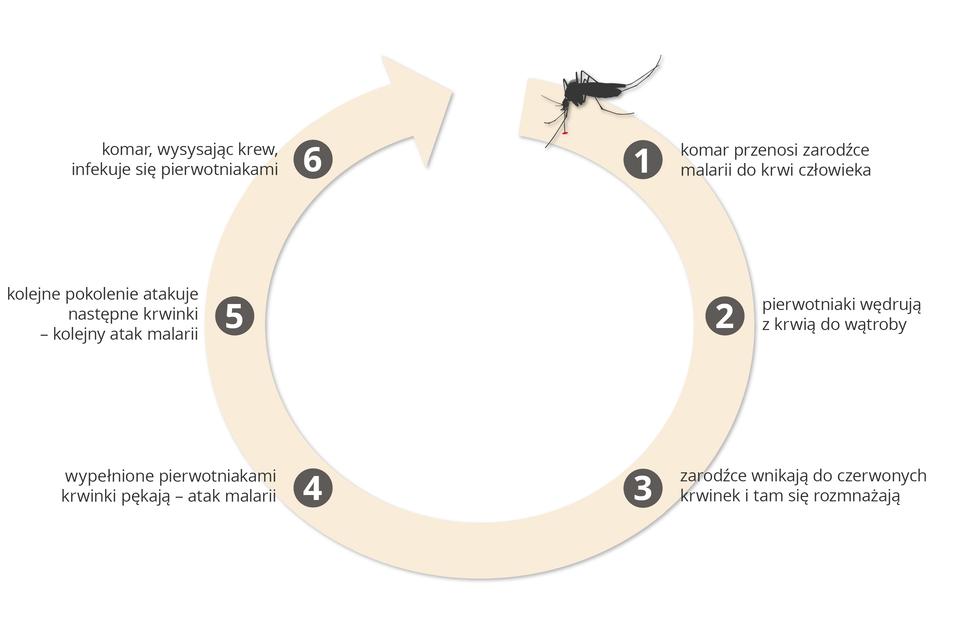 Ilustracja przedstawia różową kolistą strzałkę zcyframi ipodpisami, obrazującą kolejne stadia malarii. Chorobę tę wywołuje pierwotniak zarodziec malaryczny, przenoszony przez komary. Sylwetka komara znajduje się na górze, na początku strzałki. Zarodziec pasożytuje we krwi, powodując wysoką temperaturę, ataki dreszczy iuczucie zimna. .