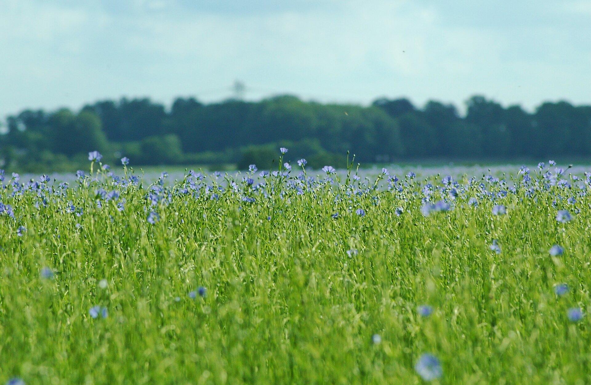 Fotografia prezentuje pole lnu kwitnącego na niebiesko.