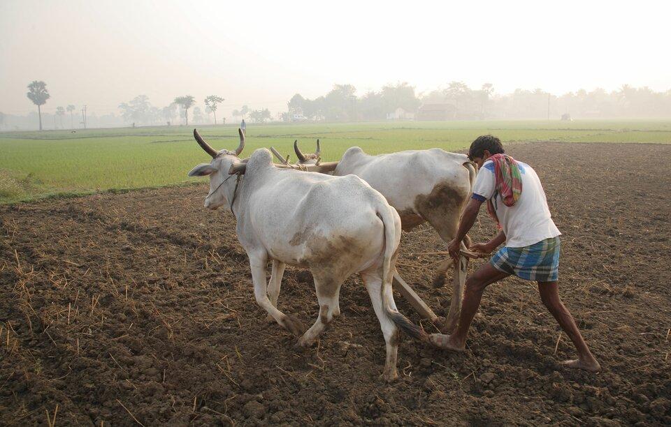 Na Nizinie Gangesu wciąż stosowane są prymitywne metody uprawy ziemi