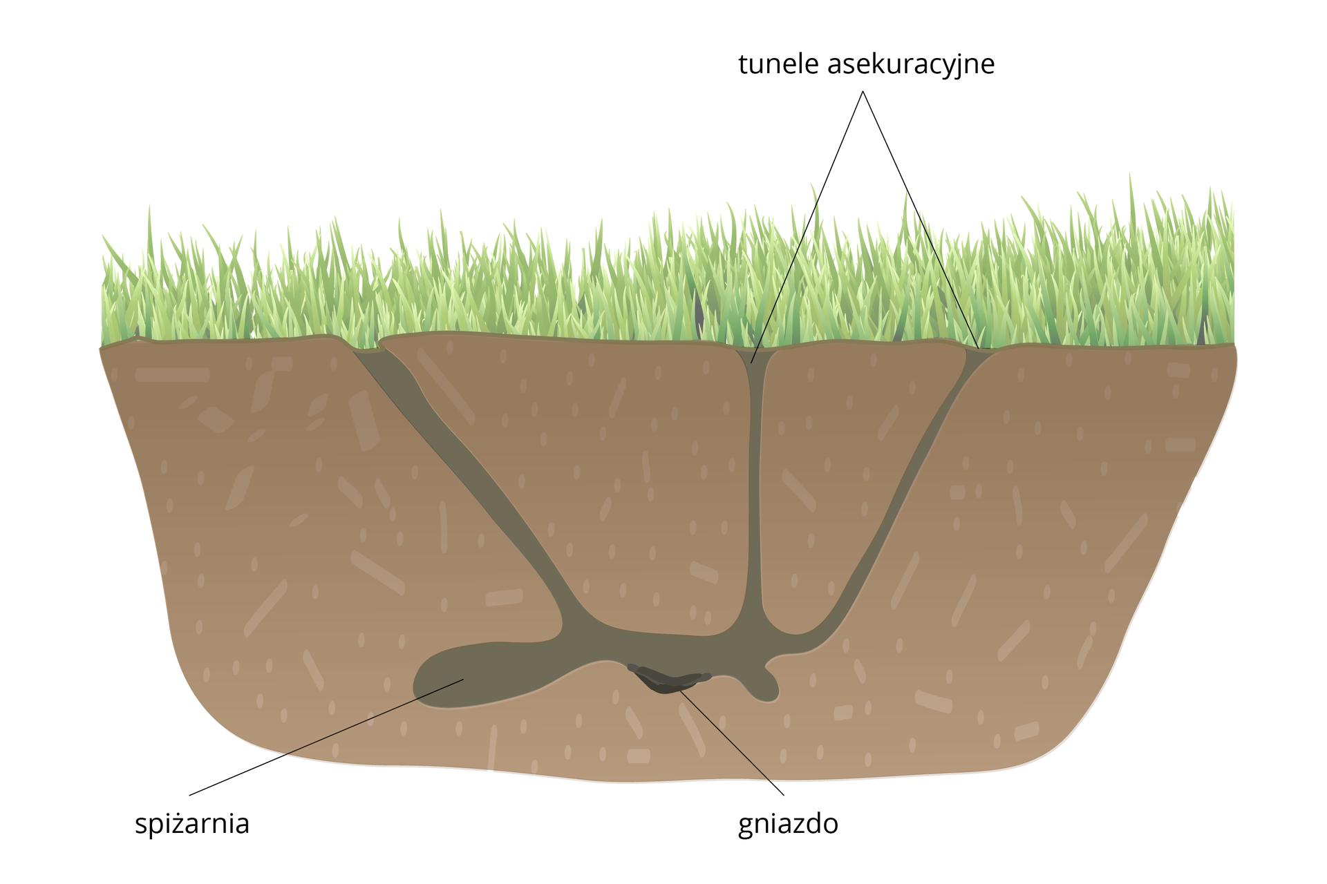 Ilustracja przedstawia przekrój pionowy przez trawiasty teren. Wziemi znajdują się ciemno zaznaczone tunele ikomory. Wjednej na czarno zaznaczono gniazdo. To nora chomika.