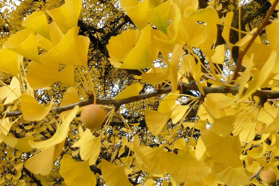 Fotografia przedstawia zbliżenie gałęzi miłorzębu japońskiego. Ma żółte liście owachlarzowatym kształcie, opadające jesienią. Zgałęzi zwisa pojedynczy, kulisty, żółty owoc.