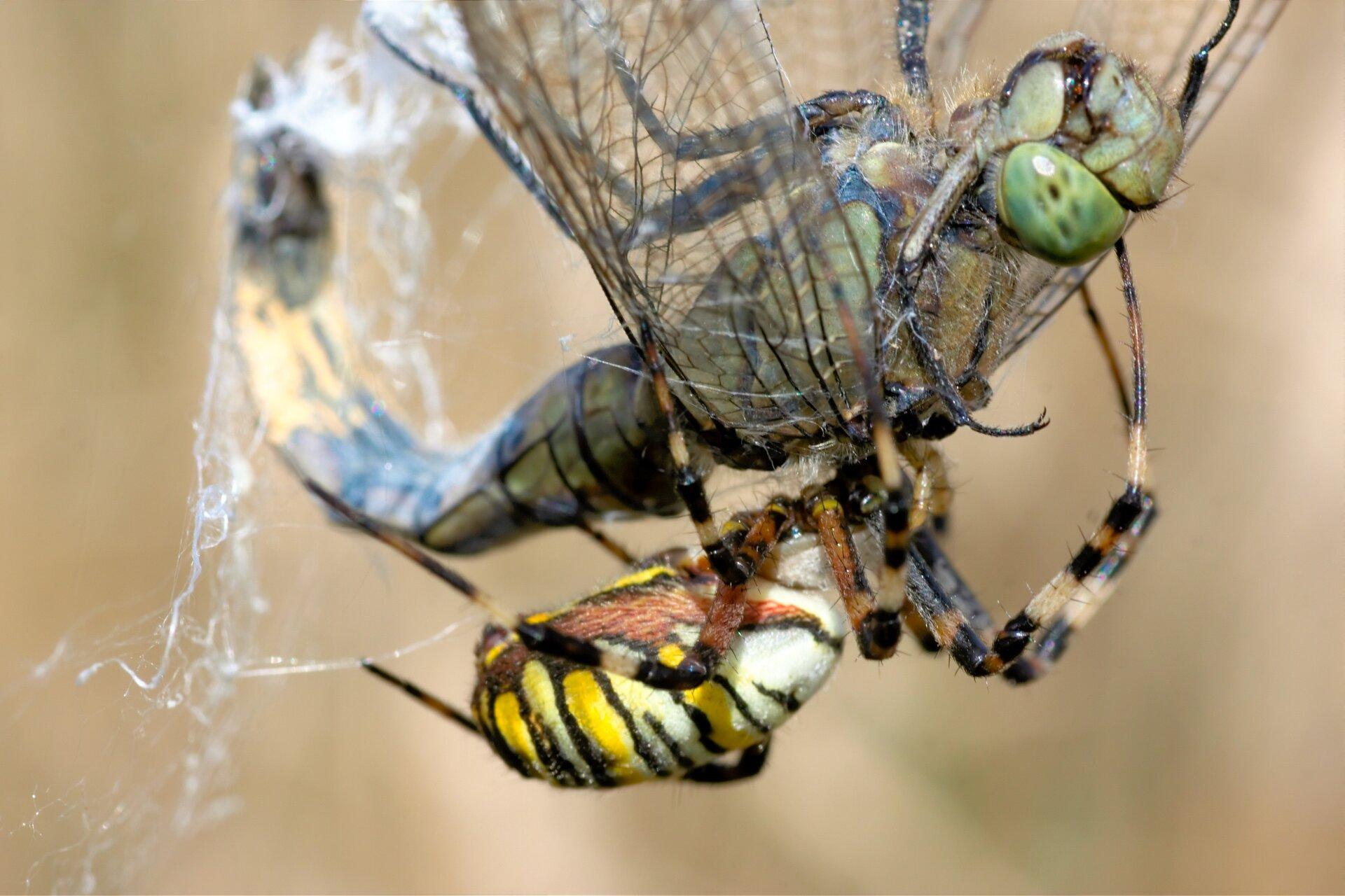Fotografia przedstawia ważkę oplecioną nićmi pajęczyny. Na jej grzbiecie siedzi pająk iwpuszcza enzymy trawienne do ciała ważki.
