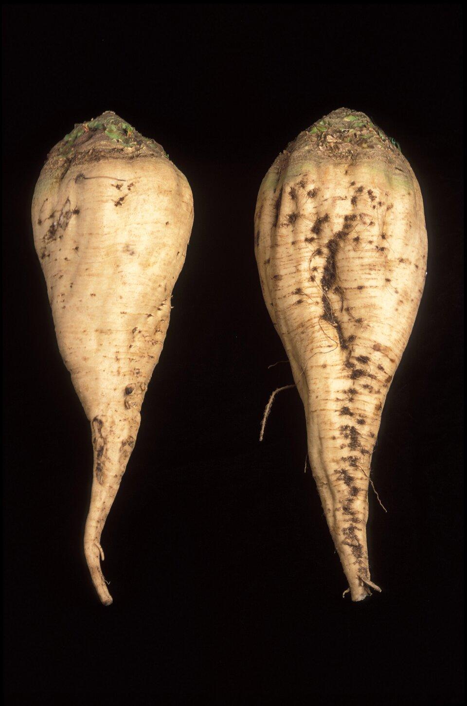 Na zdjęciu dwa korzenie buraka cukrowego na czarnym tle. Bulwy wkolorze beżowym mają stosunkowo krótki korzeń idługą szyję korzeniową