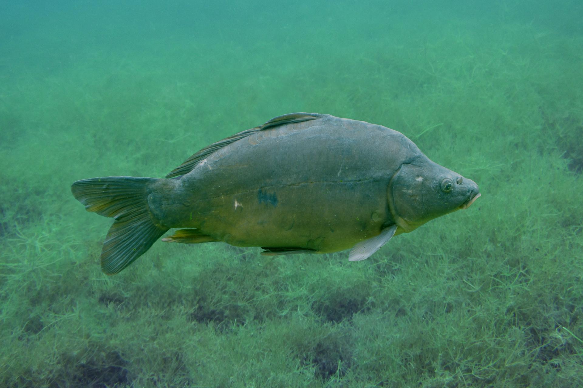 Fotografia przedstawiająca karpia wwodzie. Ryba ma bocznie spłaszczone, ale wysokie ciało. Ryba pokryta jest drobnymi łuskami. Ma barwę jasnozieloną na dolnej iciemnozieloną na górnej stronie ciała.