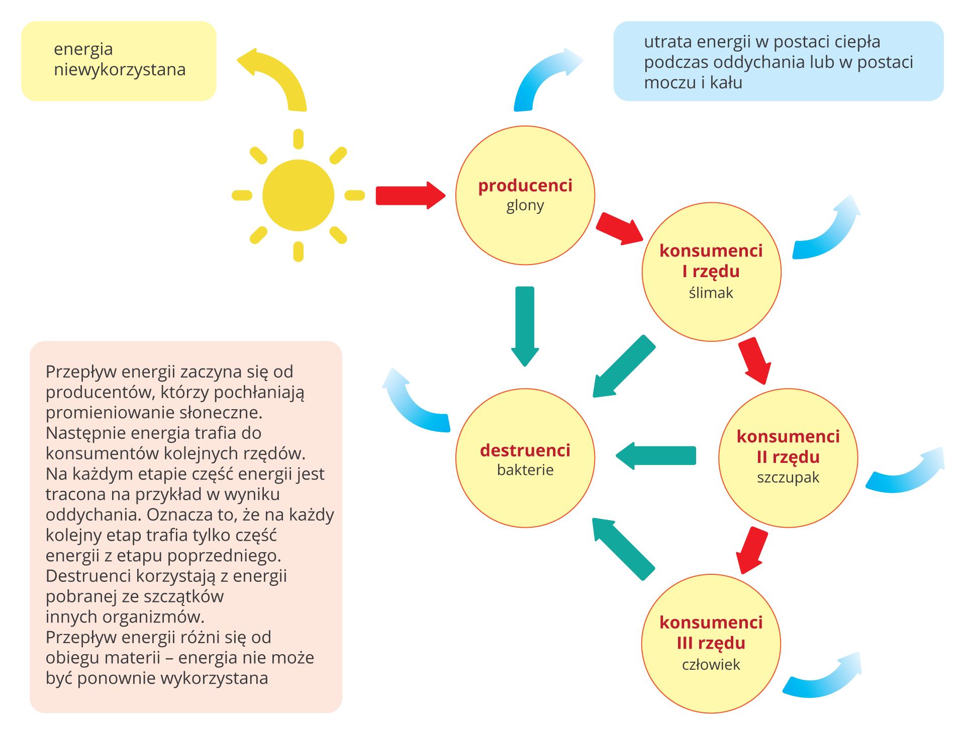 """Ilustracja przedstawia schemat przepływu energii przez ekosystem. Schemat składa się zróżowych kół ikolorowych prostokątów na zielonym tle. Wlewym górnym rogu rysunek słońca iżółta strzałka wgórę znapisem """"energia niewykorzystana"""". Od słońca czerwona strzałka wdół do kółka znapisem """"producenci, glony"""". Od niego turkusowa strzałka wgórę oznacza utratę energii. Dalej czerwona strzałka do kółka znapisem """"konsumenci Irzędu, ślimak"""". Tu też turkusowa strzałka wgórę iturkusowy prostokąt znapisem """" Utrata energii wpostaci ciepła podczas oddychania lub wpostaci moczu ikału"""". Dalej czerwona strzałka do następnego koła znapisem """"konsumenci II rzędu, szczupak"""". Od niego turkusowa strzałka wbok iczerwona do kółka wlewym dolnym rogu znapisem """"konsumenci III rzędu, człowiek"""". Od wszystkich kółek cienkie czarne strzałki wskazują przekazywanie części energii do kółka znapisem """"destruenci, bakterie"""". Od niego turkusowa strzałka strat energii wdół. Zlewej prostokąt znapisem """"Energia słoneczna przepływa przez ekosystem począwszy od producentów, poprzez kolejnych konsumentów. Na każdym etapie część tej energii jest rozpraszana wpostaci ciepła (oddychanie komórkowe), atakże wpostaci odchodów. Również na każdym etapie zenergii korzystają destruenci, pobierając ją ze szczątków roślin izwierząt."""