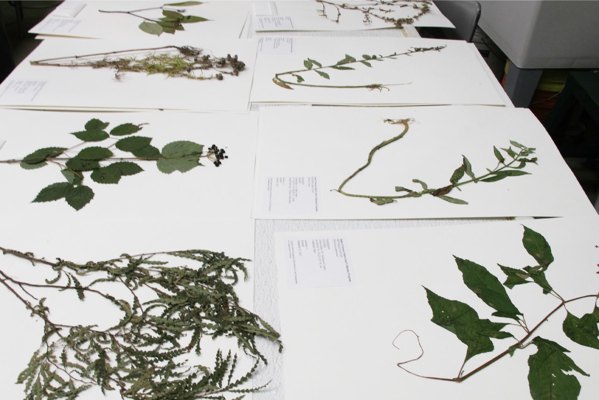 Fotografia przedstawia karty zzielnika rozłożone na blacie. Na każdej zkart znajdują się zasuszone części różnych roślin. Na dole kart umieszczono opisy zaprezentowanych okazów.