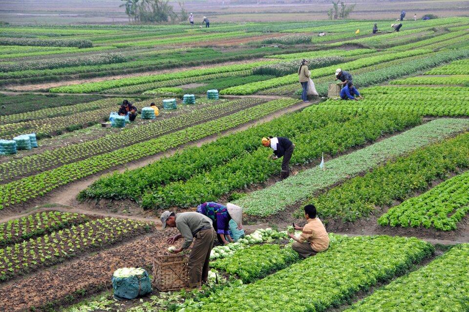 Na zdjęciu ręczny zbiór warzyw. Niewielkie poletka zróżnymi gatunkami warzyw, wróżnym stadium wzrostu. Kilkanaście osób pracuje. Worki, kosze.