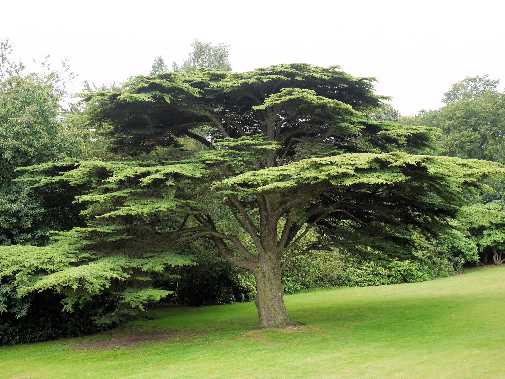 Fotografia prezentuje cedr rosnący samotnie, na tle innych drzew ikrzewów. Cedr jest drzewem iglastym ogrubym pień zrozłożystymi szerokimi gałęziami.