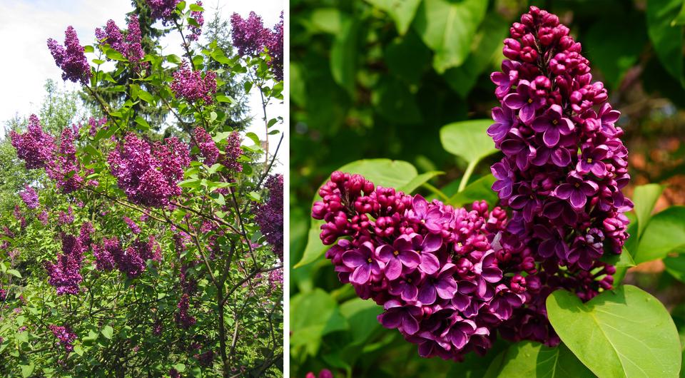 Dwie fotografie prezentują krzew lilaka, nazywanego bzem. Na pierwszej widoczne drobne gałęzie krzewu zkwitnącymi fioletowymi kwiatostanami lilaka oraz zielonymi liśćmi. Na drugiej fotografii widoczne zbliska dwa fioletowe kwiatostany bzu.
