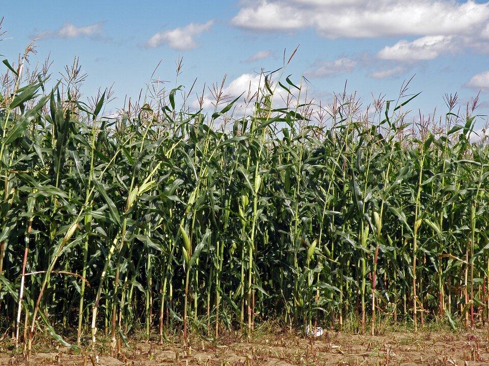 Od kilkunastu lat wPolsce uprawia się coraz więcej kukurydzy na ziarno
