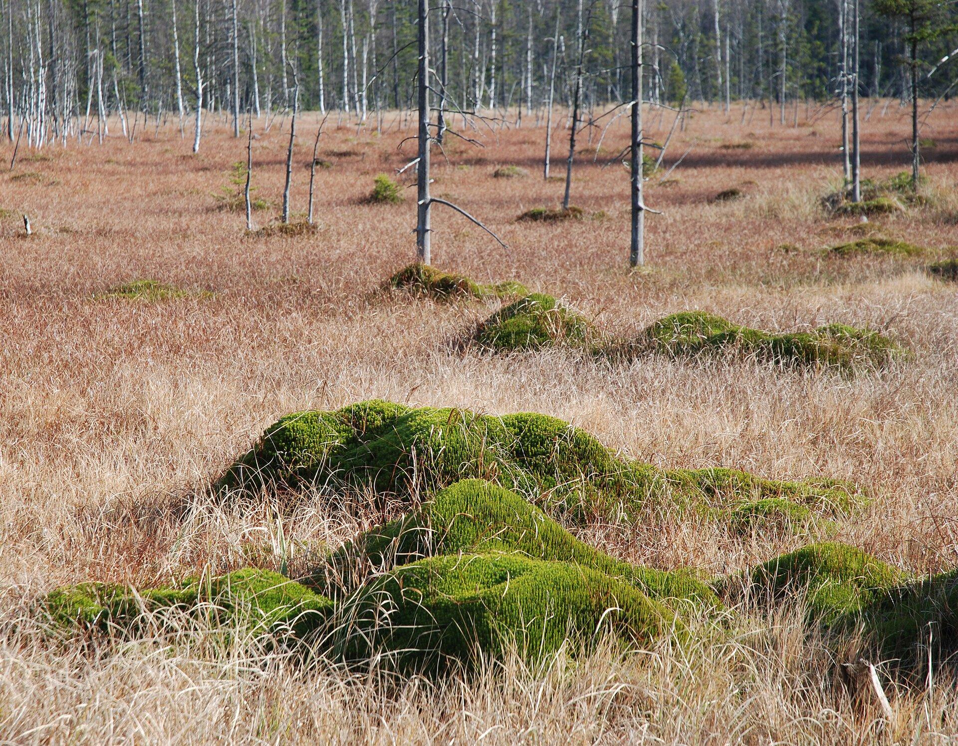 Na zdjęciu kępy mchów pośród suchych traw. Pnie drzew. Wtle las.