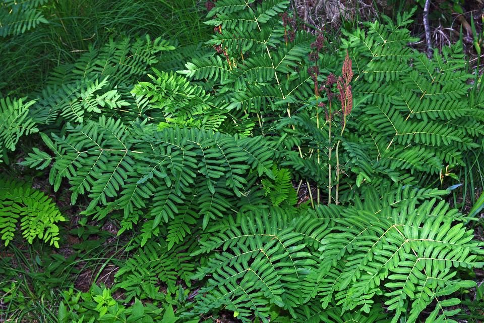 Fotografia prezentuje pióropuszowa te liście długosza królewskiego.