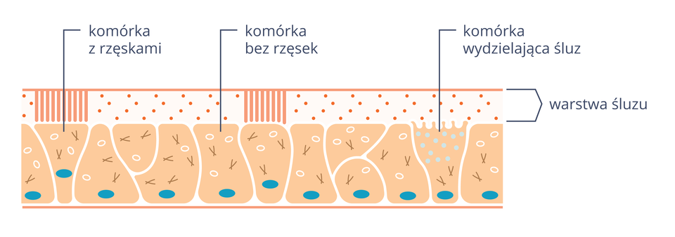 Ilustracja przedstawia nieregularne różowe komórki nabłonka oddechowego zniebieskimi jądrami. Na nich kropkowana warstwa śluzu. Zprawej komórka zjaśniejszymi pęcherzykami, opisana jako komórka produkująca śluz. Niektóre komórki są bez pionowych rzęsek, inne mają rzęski.