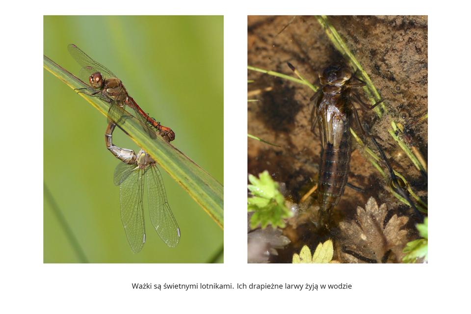 Wgalerii znajdują się pary fotografii, przedstawiające różne owady iich larwy. Fotografia zlewej przedstawia na zielonym tle ukośnie liść, na którym siedzą dwie ważki podczas kopulacji. Ta ugóry brązowa, zgłową wlewo. Ma gruby tułów icienki odwłok, połączony ztułowiem ważki pod spodem liścia. Ta jest widoczna od białawej strony brzusznej. Błoniaste skrzydła ugórnej ważki rozłożone na boki, utej pod spodem skierowane wdół. Fotografia zprawej przedstawia ciemnobrązową larwę ważki wwodzie. Ujęcie pionowe zgłową ugóry, na tle roślin ipiaszczystego podłoża. Na tułowiu zawiązki skrzydeł. Wydłużony, gruby odwłok wyraźnie segmentowany.