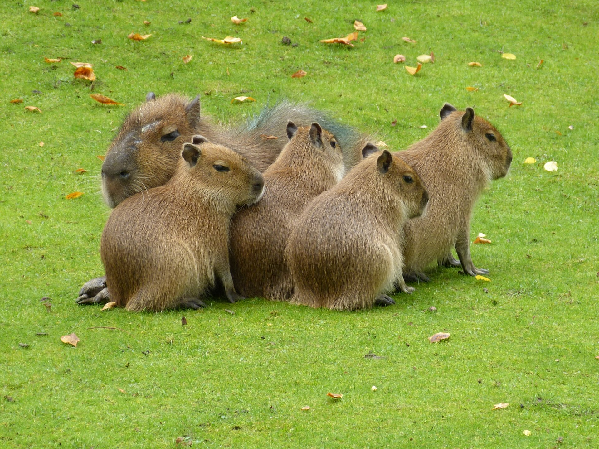 Fotografia przedstawia stado kapibar. Zwierzęta są całe pokryte długą, brązową sierścią, na łapach ciemniejszą. Mają krótkie pyski imałe uszy.
