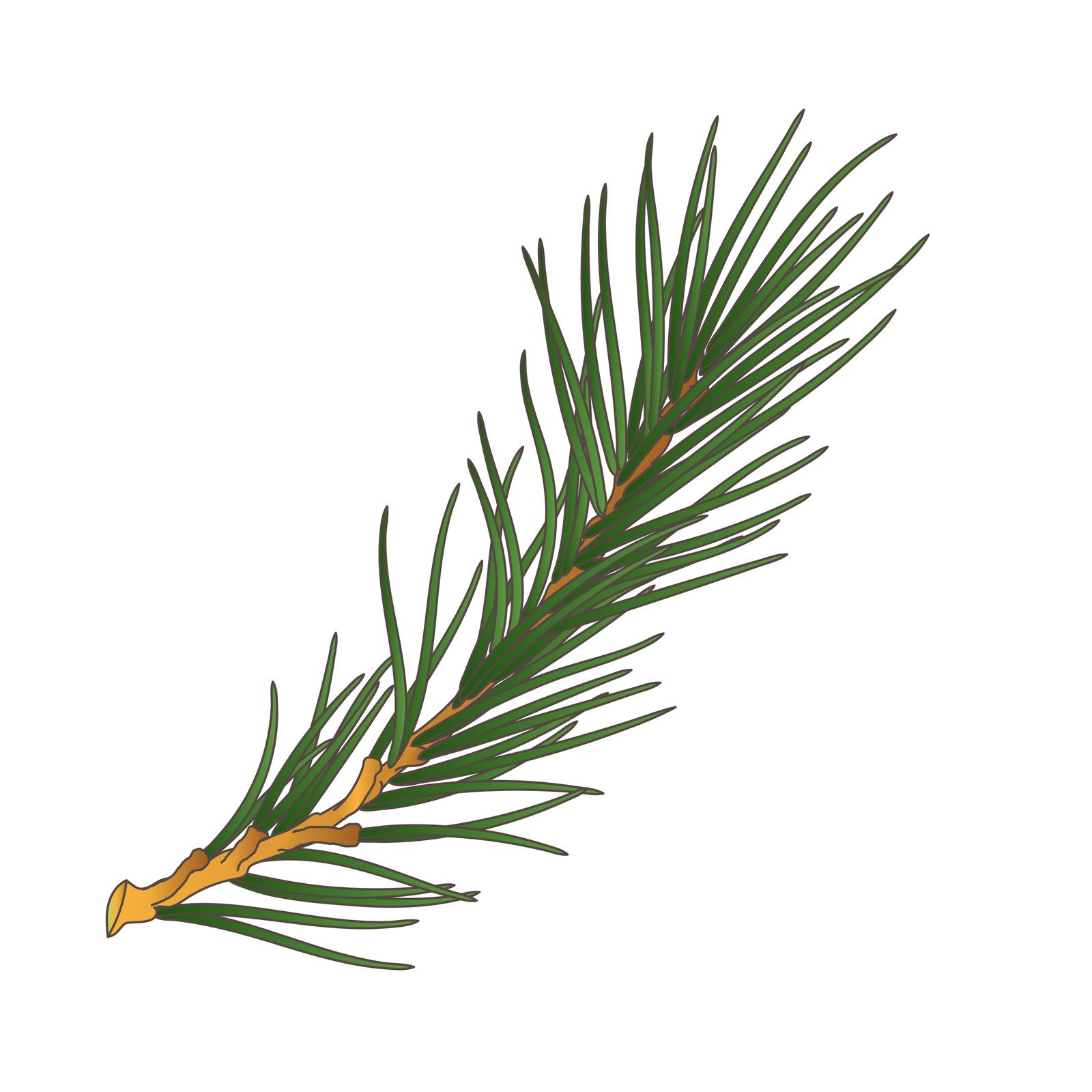 Ilustracja przedstawia pęd sosny. Zjasno brązowej łodygi wyrasta gęsto wiele liści – igieł.