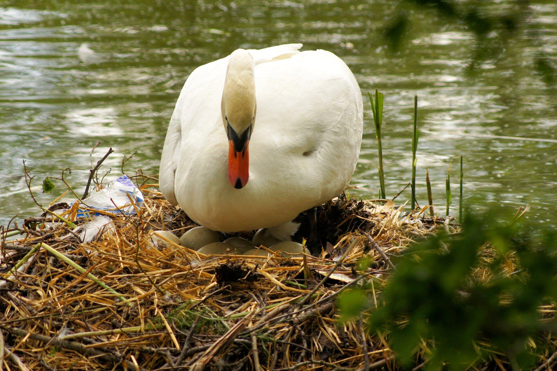 Fotografia przedstawia dużego, białego łabędzia zczerwonym dziobem skierowanym wdół. Ptak stoi nad gniazdem, zbudowanym zpatyków ipapierka. Gniazdo mieści się na brzegu, przy samej wodzie. Znajduje się wnim kilka dużych jaj. Ptaki są jajorodne.