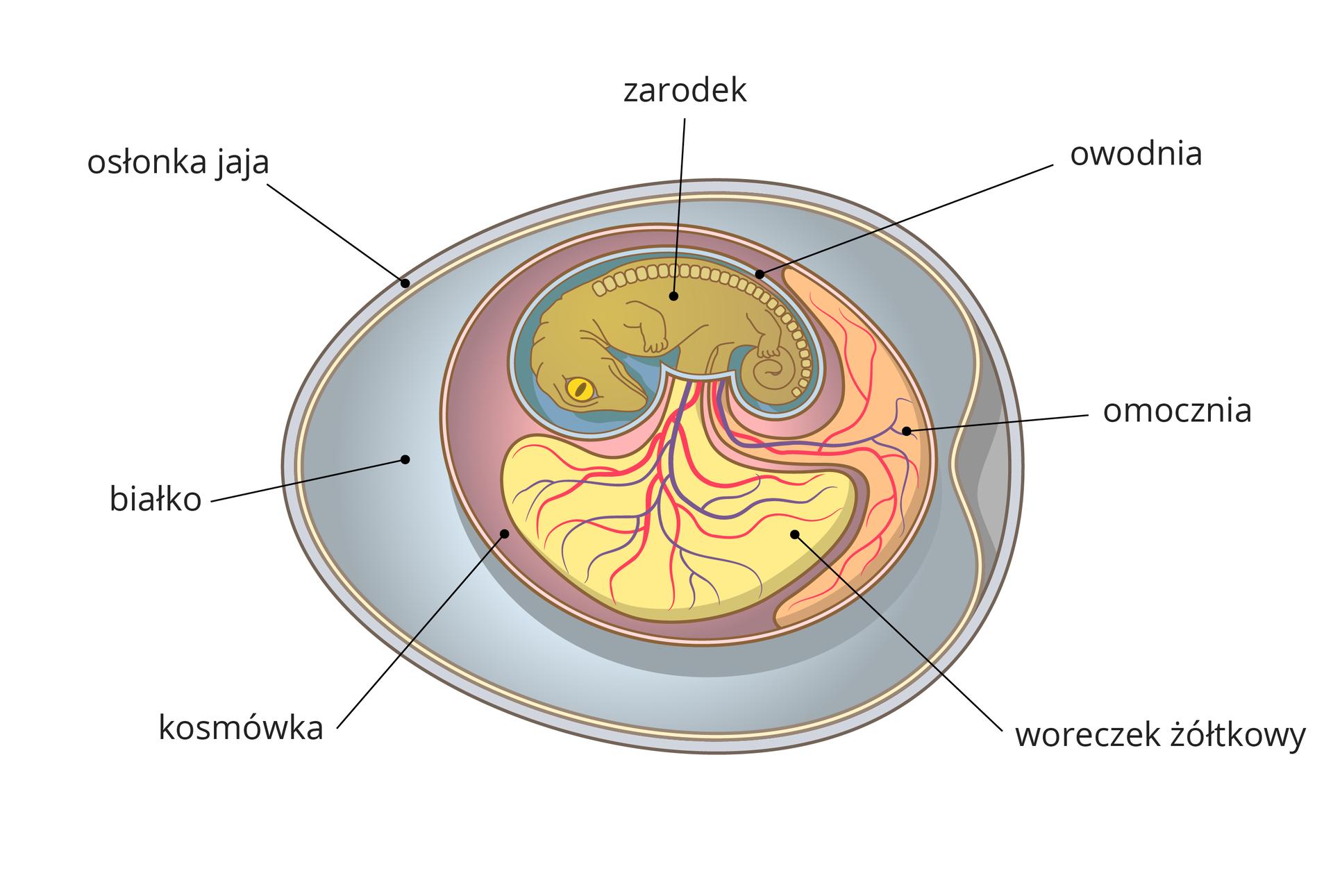 Ilustracja przedstawia poziomo błękitne jajo krokodyla, opisane: osłonka ibiałko. Wewnątrz liliowa kosmówka, beżowy woreczek żółtkowy iróżowa omocznia. Na nich znajdują się czerwone ifioletowe, rozgałęzione naczynia krwionośne. Ugóry wniebieskiej owodni zwinięty lekko wdół oliwkowy zarodek zżółtym okiem isznurem kostek, oznaczających kręgosłup. Wokolicy brzucha zarodek łączy się zżółtkiem iomocznią.