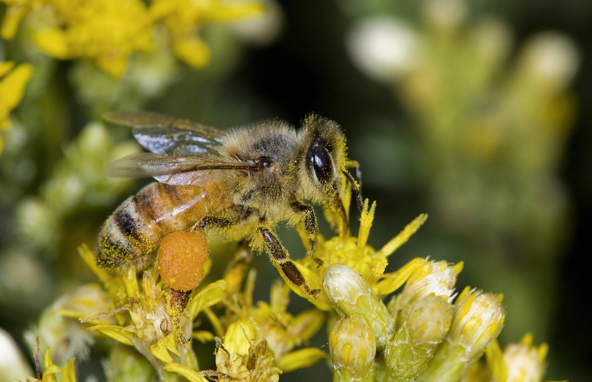 Zdjęcie przedstawia pszczołę na kwiatostanach. Pszczoła opiera się na koszyczkach drobnych żółtych kwiatów. Głowa pszczoły po prawej stronie zdjęcia. Odwłok wczarnożółte pionowe paski po lewej. Na tylnych odnóżach zgromadzony pyłek wkształcie kuli. Cały odwłok pszczoły, przód głowy oraz odnóża pokryte są żółtym drobnym pyłkiem.