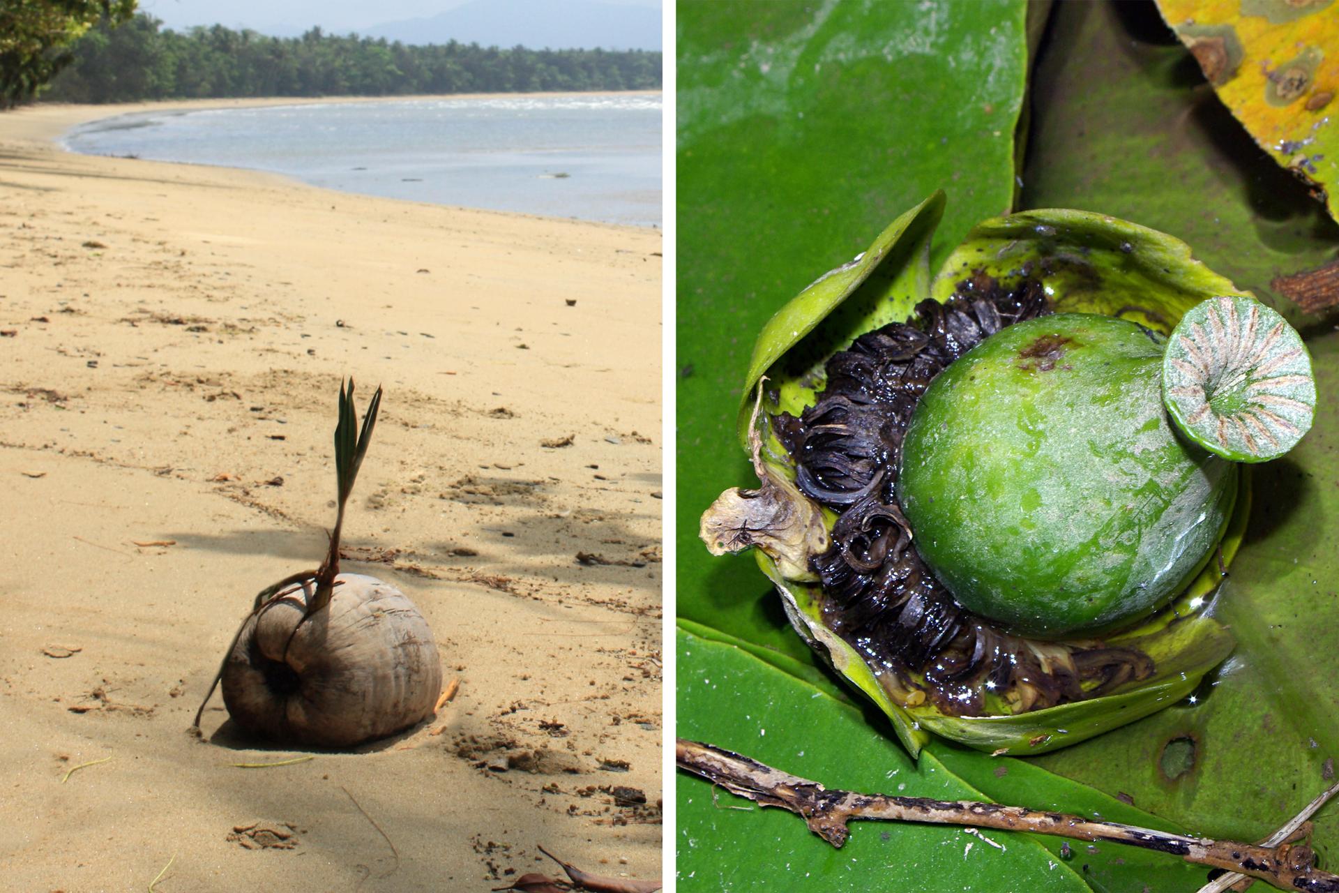 """Fotografie przedstawiają nasiona, rozsiewane przez wodę. Zlewej szary, beczułkowaty owoc leży na słonecznej plaży. Wyrastają zniego wgórę podłużne listki, awdół korzonki. Po prawej zbliżenie zielonego, butelkowatego owocu. Znajduje się na """"łódeczce"""" utworzonej przez płatki kwiatu, awokół znajdują się liczne czarne pozostałości pręcików."""