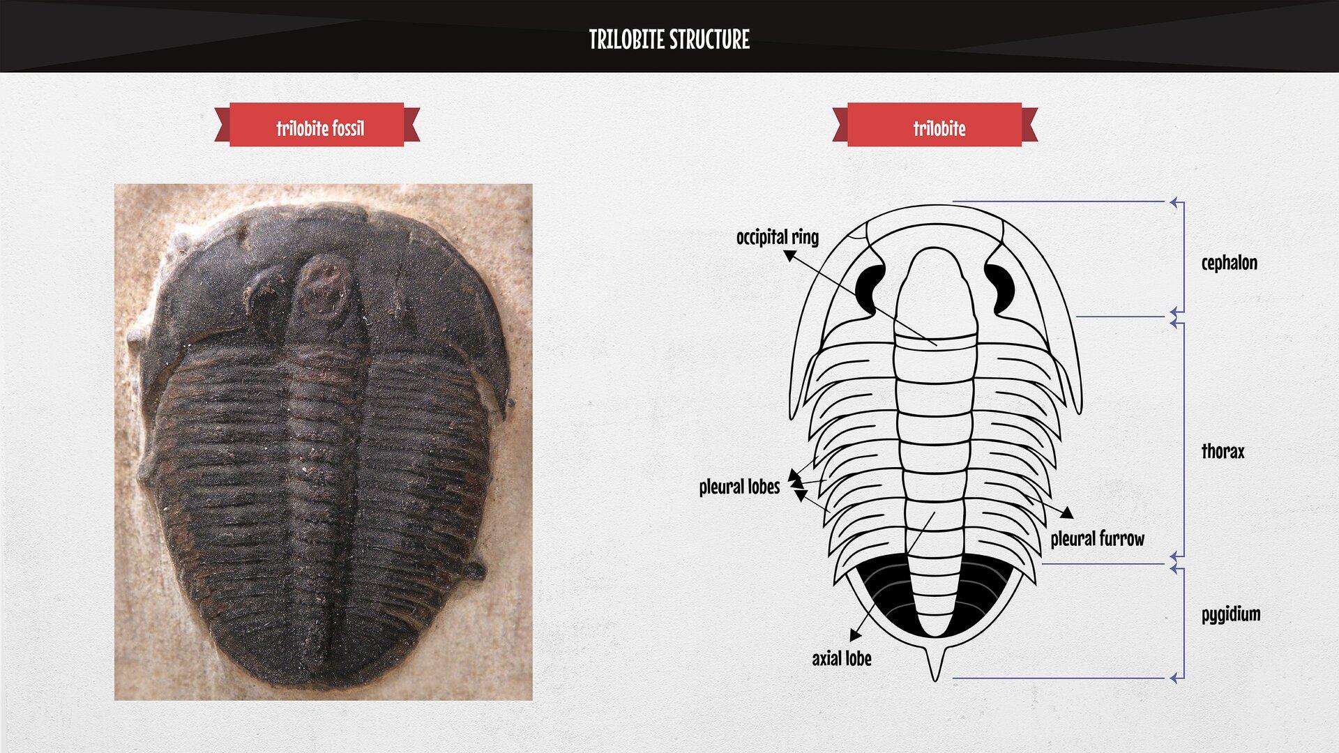 The image presents the structure of atrilobite, together with the description of its cephalon, thorax, pygidium. Rysunek przedstawia budowę trylobita zopisem tarczy głowowej, tułowiowej iogonowej.