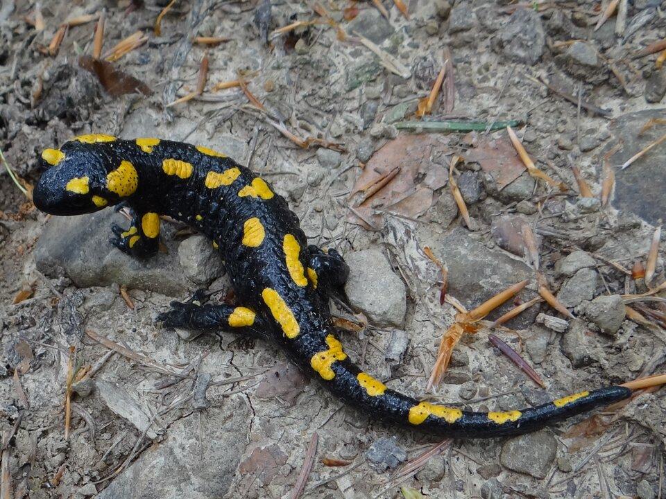 Fotografia przedstawia zgóry czarno – żółtą salamandrę na kamienistym, szarym podłożu. Płaz ma głowę zlewej, wydłużone ciało zdługim ogonem lekko wygięte. Palce przednich łap skierowane do środka, bez błony pławnej. Tylne kończyny krótkie, odstają na boki.
