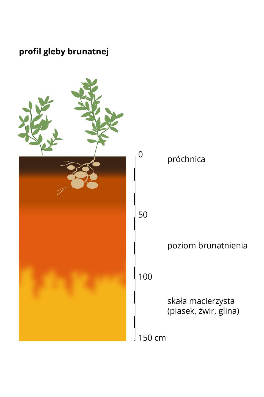 Seria ilustracji profilów gleb najczęściej spotykanych wPolsce. Profil pierwszy – gleba brunatna, na powierzchni niewielka warstwa próchnicy igruba warstwa brunatnienia,