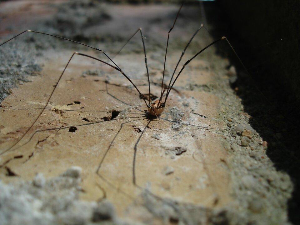 Galeria składa się zfotografii przedstawicieli pajęczaków. Fotografia przedstawia stojącego na kawałku muru małego pająka zbardzo długimi, cienkimi odnóżami. Jego beżowe ciało wygląda jak zawieszone pomiędzy nimi. To kosarz ścienny, żyjący wnaszych domach.