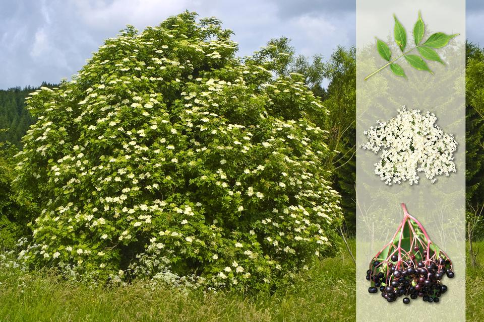 Fotografia przedstawia biało kwitnący krzew bzu czarnego na łące. Zprawej strony nałożony jaśniejszy pasek zfotografiami. Ugóry pierzasto złożony liść. Wśrodku baldachowaty kwiatostan zbiałymi kwiatami. Udołu gałązka zczarnymi owocami.