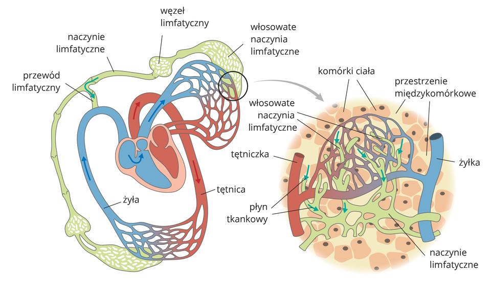 Ilustracja przedstawia dwa schematyczne rysunki. Zlewej układ limfatyczny ikrwionośny. Różowe serce, błękitne żyły, koralowe tętnice, siatki naczyń włosowatych. Przy nich szary zjaśniejszymi plamkami układ limfatyczny. Udołu workowaty przy naczyniach włosowatych wtkankach, wyżej cebulasty węzeł chłonny inaczynie limfatyczne zzastawkami. Podobnie ugóry przy naczyniach włosowatych wpłucach: włosowate naczynia limfatyczne, węzeł limfatyczny inaczynie. Limfa ztkanek wpływa przewodem limfatycznym do żyły (strzałka turkusowa). Zprawej powiększenie tkanki znaczyniami włosowatymi. Między ciemnoróżowymi komórkami ciała znajdują się różowe przestrzenie międzykomórkowe. Przy nich wrysowano naczynia włosowate, amiędzy nimi szare naczynia limfatyczne. Turkusowe strzałki wskazują kierunek przepływu płynu tkankowego.