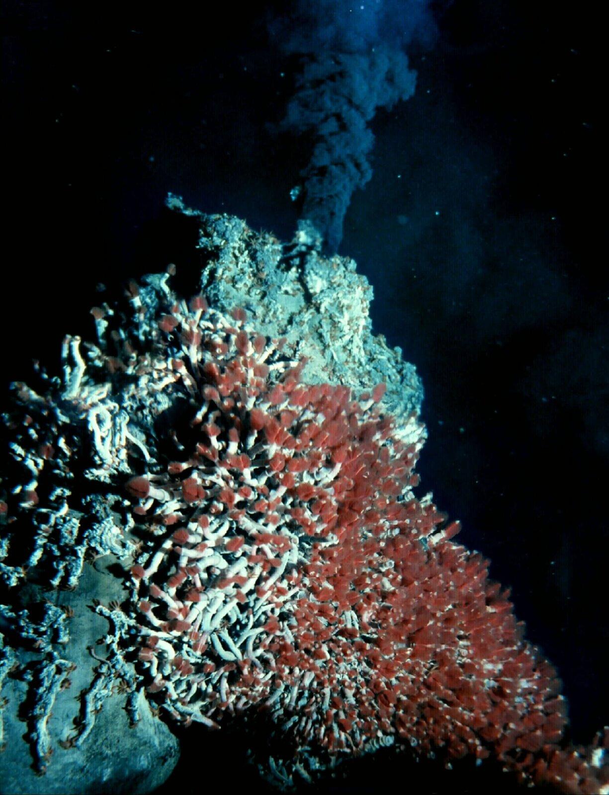 Zdjęcie przedstawia komin hydrotermalny na dnie oceanu. Na pierwszym planie niebieskawo-czerwone rurki porastające skałę. To rurkoczułkowiec na dnie Oceanu Spokojnego. Cała skała pokryta setkami czułek wkształcie rurek. Na drugim planie, za skałą, komin gorącej wody. Komin to tysiące bąbelków wypełnionych gazami, które unoszą się pionowo wgórę pod wysokim ciśnieniem.