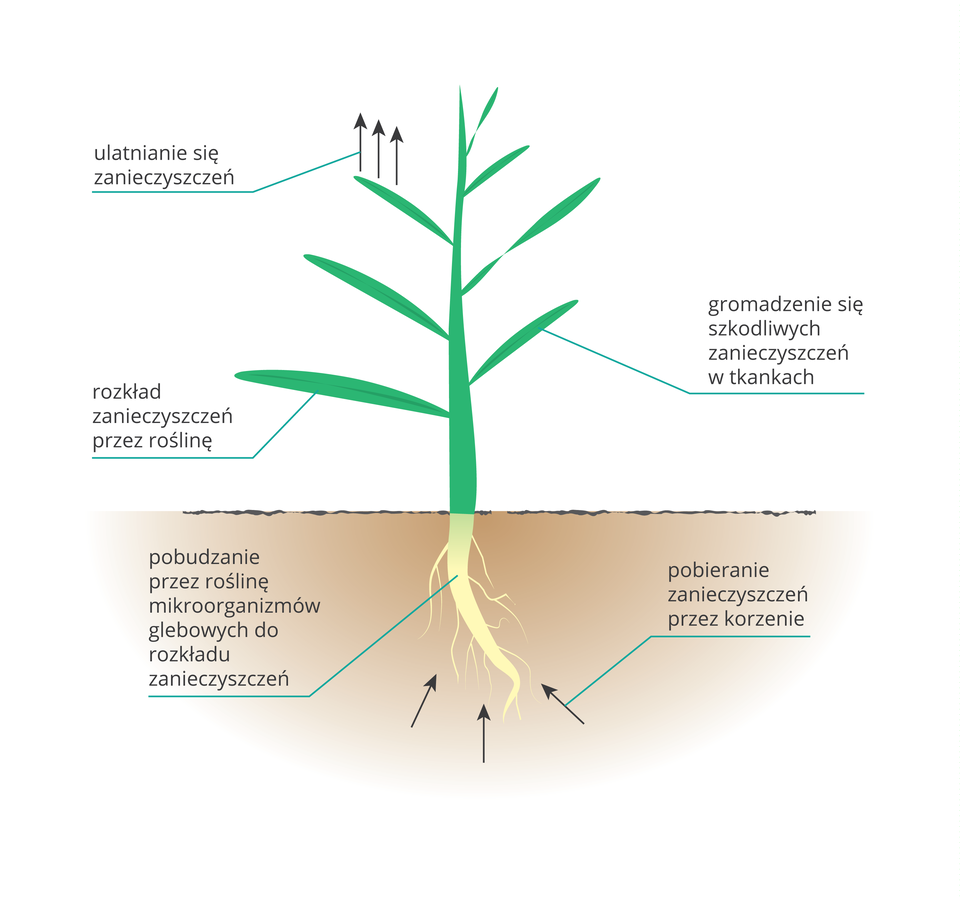 Ilustracja przestawia schematycznie rosnącą roślinę. Biały korzeń wbeżowej glebie, zielony pęd powyżej. Strzałki obrazują wnikanie zanieczyszczeń do korzenia iulatnianie się ich przez liście.