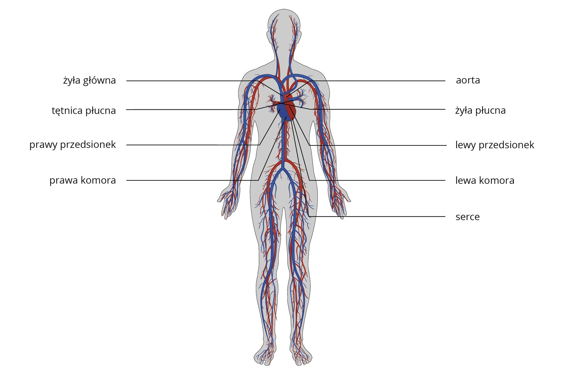 Ilustracja przedstawia budowę układu krwionośnego człowieka. Na fioletowo oznaczono tą część układu krwionośnego, gdzie jest krew odtlenowana, ana czerwono gdzie jest krew natlenowana. Wśródpiersiu znajduje się serce. Po lewej stronie sylwetki człowieka serce oznaczono na fioletowo, są to prawy przedsionek iprawa komora. Do prawego przedsionka uchodzi żyła główna, azkomory prawej wychodzi tętnica płucna. Po prawej stronie sylwetki człowieka serce oznaczono na czerwono, są to lewy przedsionek ilewa komora. Do prawego przedsionka uchodzi żyła płucna, azkomory prawej wychodzi aorta.