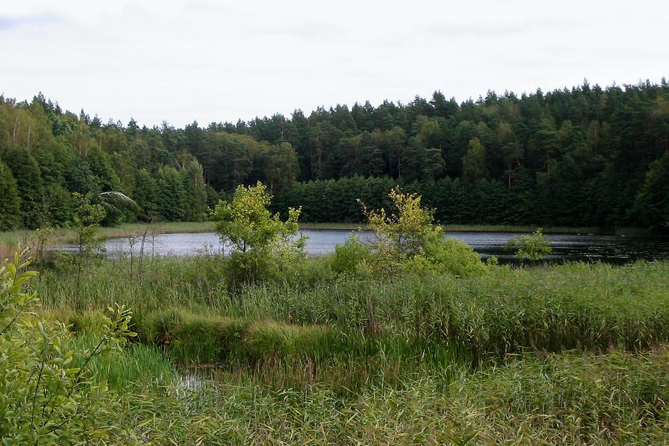 Fotografia przedstawia jezioro wlesie. Na pierwszym planie zarośla trzciny idrzewka. To rezerwat Jezioro Orłowo Małe wwojewództwie warmińsko – mazurskim. Jest miejscem ochrony żółwia błotnego.