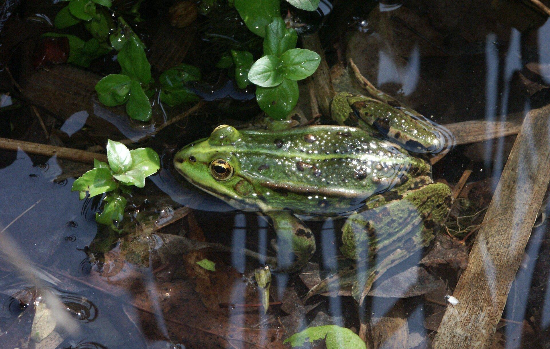 Żaba pływająca po powierzchni wody. Ciało jest krótkie, barwy zielonej zjasnym pasem wzdłuż grzbietu. Przednie kończyny są krótkie. Tylne kończyny długie, zdługimi palcami, pomiędzy którymi rozpięta jest błona ułatwiająca pływanie.