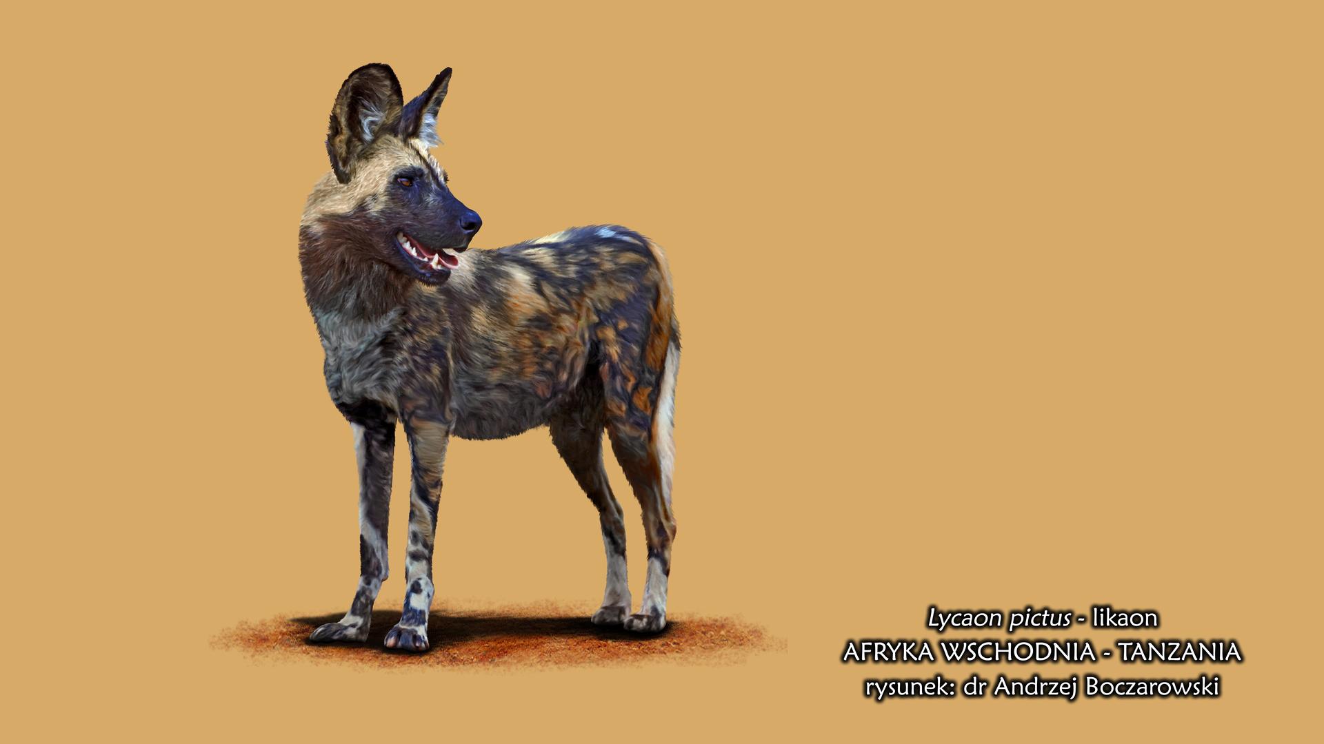 Rysunek przedstawia likaona. Zwierzę sylwetką przypomina psa. Plamiste, czarno-brązowo-szare zwierzę stoi bokiem, głowa skręcona wprawo. Ma duże, sterczące uszy, opuszczony długi icienki ogon. Pysk czarny, lekko otwarty.